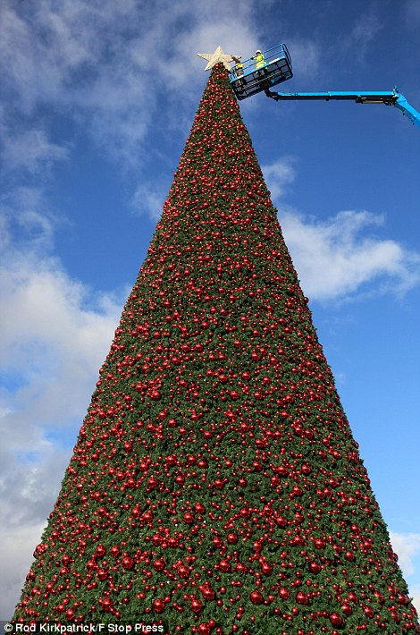 Britains Largest Christmas Tree Goes Up In Cheshire
