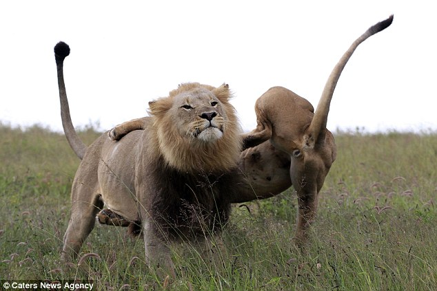 The male lion paid little attention to the incident and strolled on after the mother fell to the ground