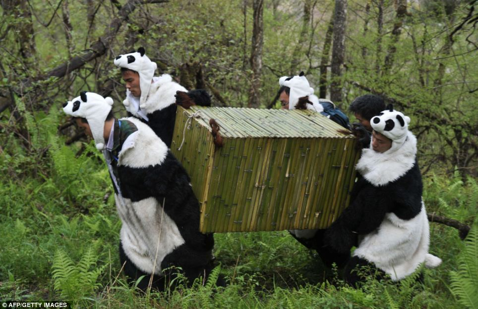 Workers in panda costumes transport a giant panda back to the wild in southwest China's Sichaun province last May