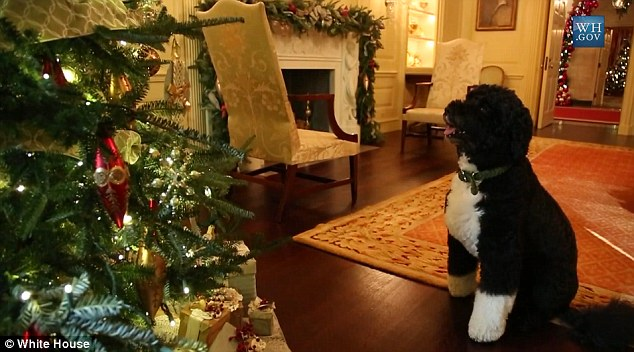 Tree: Bo gazes at the 18-foot-6-inch tall Fraser fir in the White House's Blue Room
