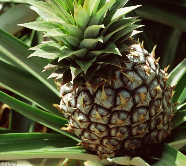 The pina colada pineapple: Researchers with the Australian Department of Agriculture believe they are the first in the world to develop a coconut-flavoured pineapple - which could revolutionise cocktail making