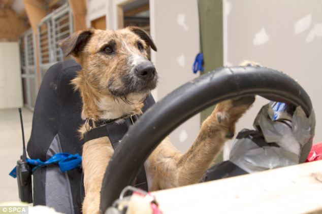 Porter, a 10 month old beardie cross, is one of three dogs being trained to drive a specially converted Mini in a stunt for the New Zealand Society for the Prevention of Cruelty to Animals.