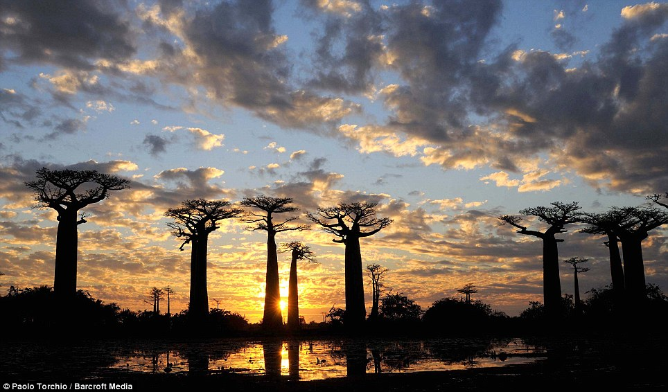 A cluster of Baobab Trees are beautifully silhouetted against the sunset sky. There are eight different species of this curious upside-down looking tree in the world, six of which are native to Madagascar