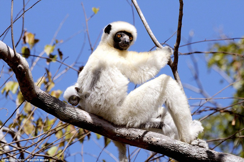 Hanging out: A Sifaka Lemur mother sits back on the branch of a tree as her baby pokes its head tentatively from behind her back