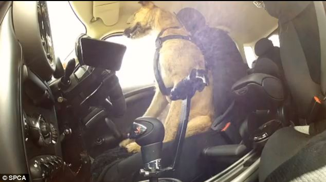 The cars were modified with special gearsticks and pedals the canines could use