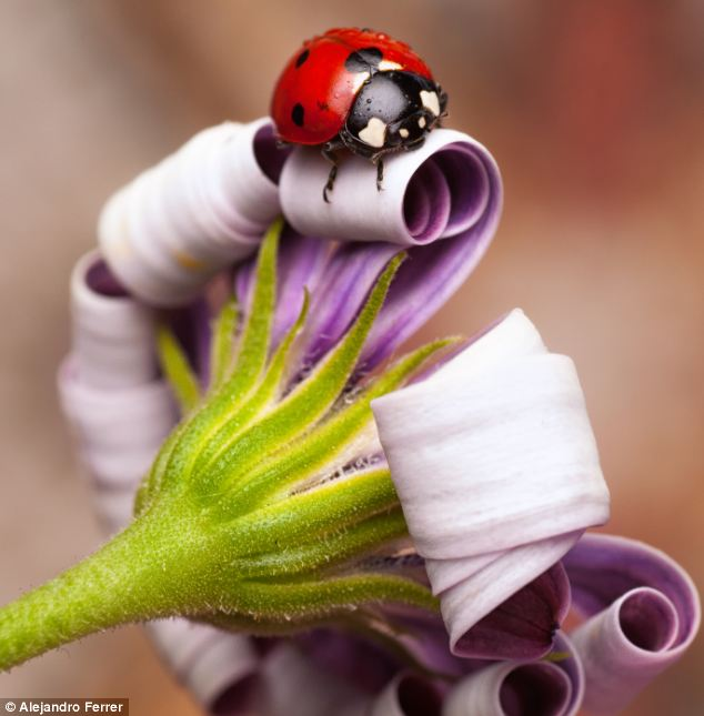 five more minutes: A ladybird was up early and ready to face the day whilst its chosen flower friend decided to stay rolled up in bed for a little longer