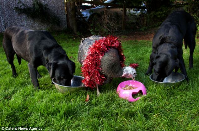 Mr Watkins said Cranberry has now got her own dog bowl for her corn and occasional dog biscuits to stop her stealing food from the dogs