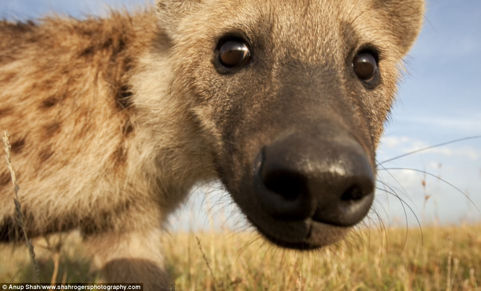 Doe-eyed: A spotted hyena looks intently into the lens and is so close every single one of its whiskers is visible
