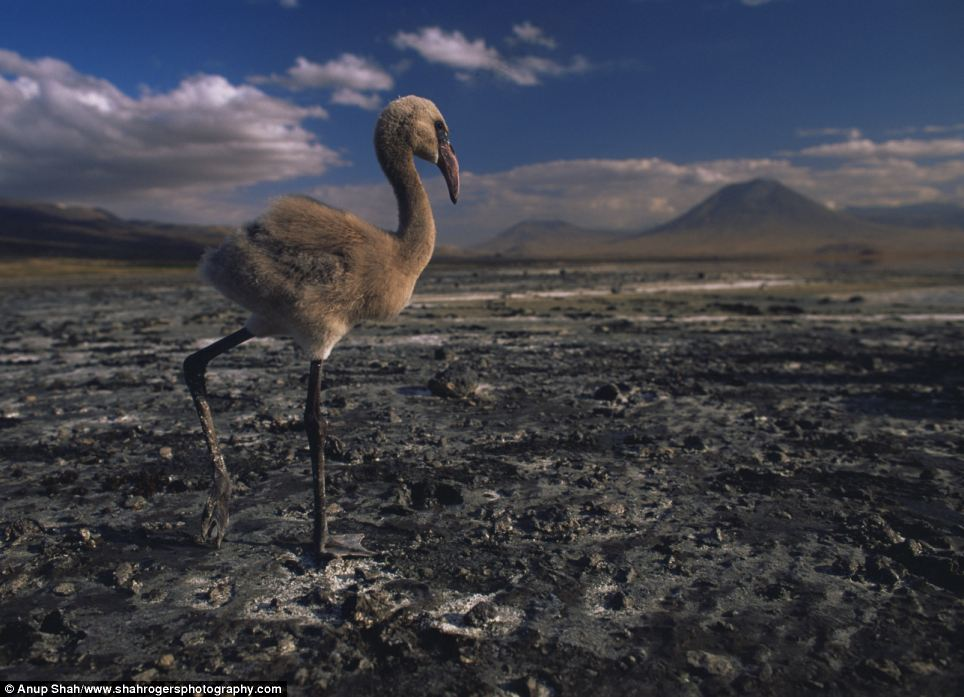 Apocalyptic: A lesser flamingo chick wades through mudflats at Lake Natron in Tanzania, with Ol Doniyo Lengai in the background