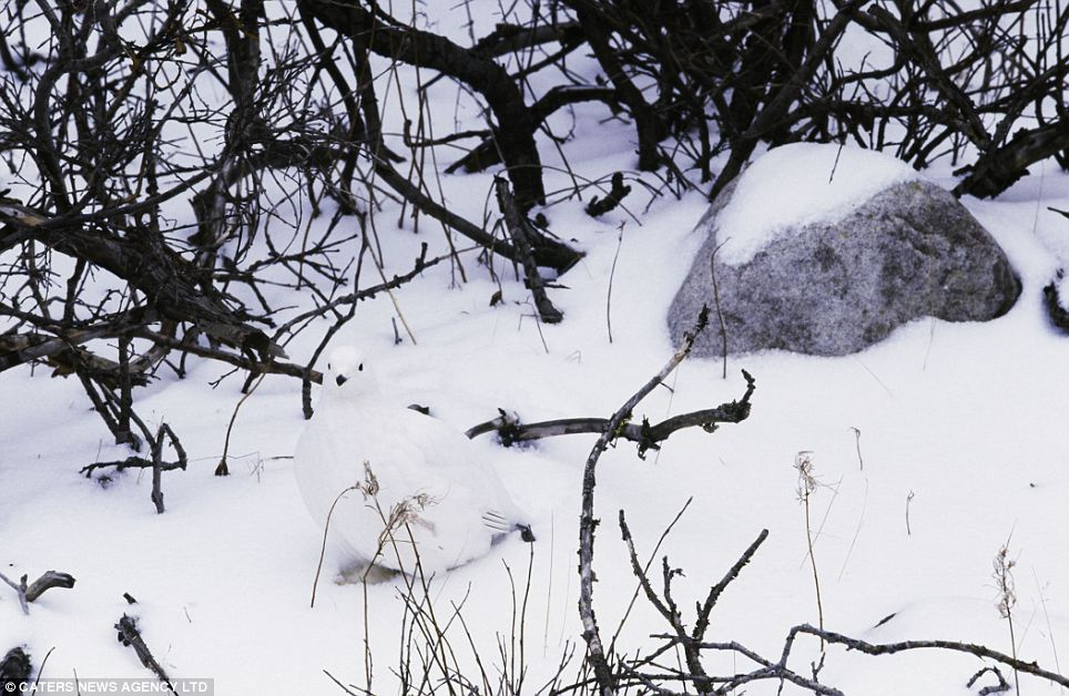 It's white in front of you! A willow ptarmigan in winter plumage, hidden on a brushy slope near Churchill, Manitoba, Canada. The animals are trying their utmost to fool predators but that's not enough to deceive international photographer Art Wolfe