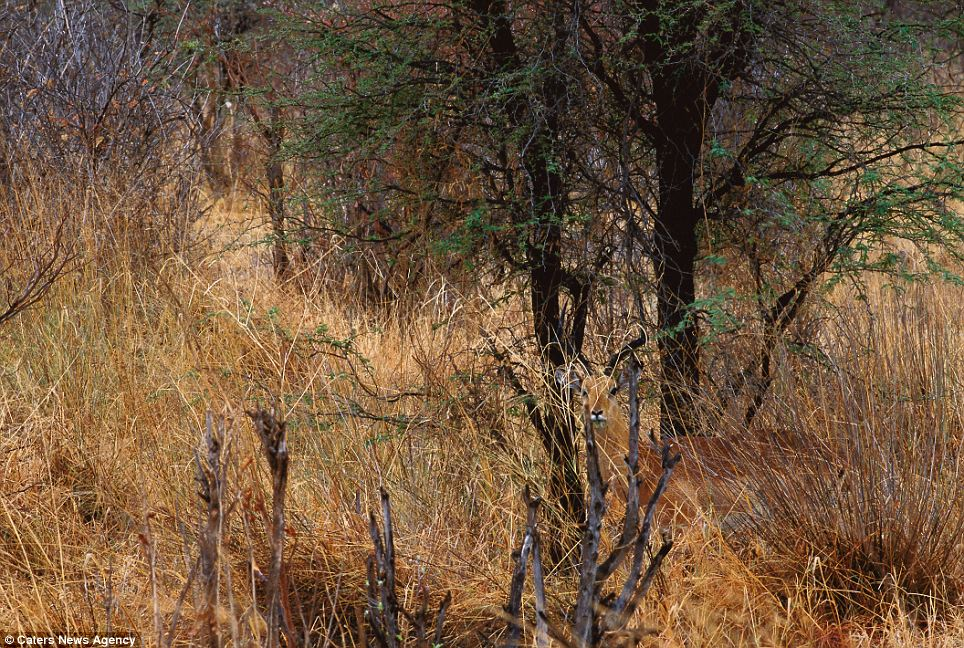 The long grass: An Impala hiding in vegetation in Botswana's Chobe National Park, Africa