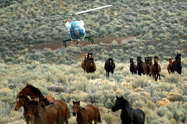 Campaigners say that helicopter herding is cruel and does not distinguish the fit horses from the old and young populations