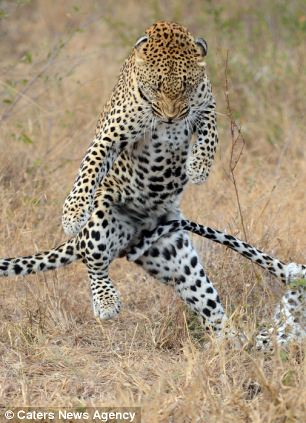 The leopard showing off his dance moves to attract a mate in the Londolozi Private Game Reserve in Sabi Sands, South Africa