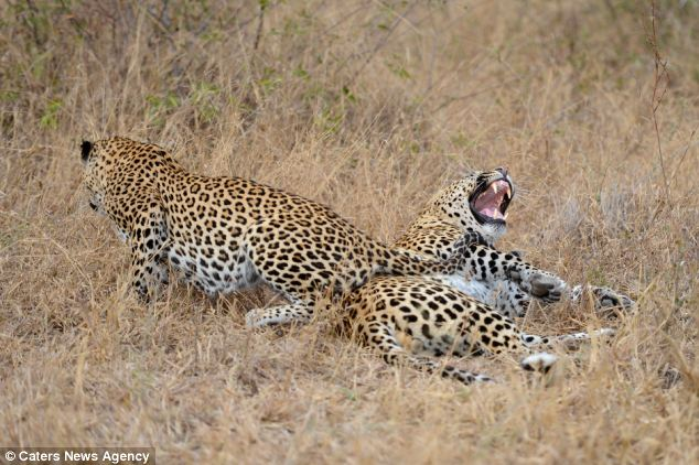 Roaring with laughter: The South African leopards roll around in the grass together
