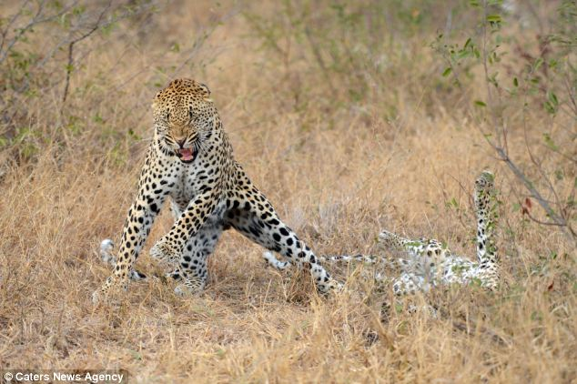 The leopard looks like hes doing the moves from popular music video Gangnam Style, by standing on his back legs and dancing