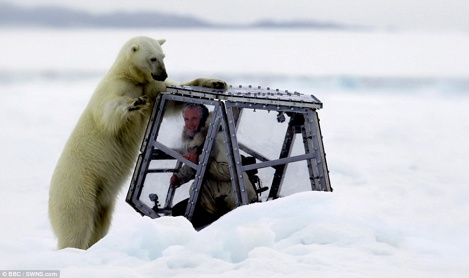 Heart-stopping moment: This shows the size of the adult polar bear compared to the cameraman