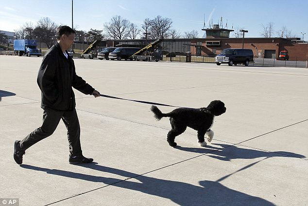 Reunited: A handler brings Bo onto the tarmac to greet the Obamas at Andrews