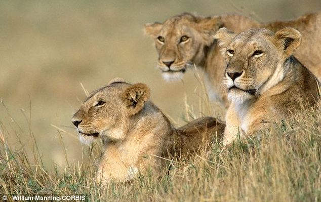 Conservationists want lions to be put on the list of most endangered species to give them greater protection from hunters