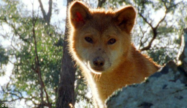 The dingo is thought to have reached Australia with humans about 4,230 years ago.