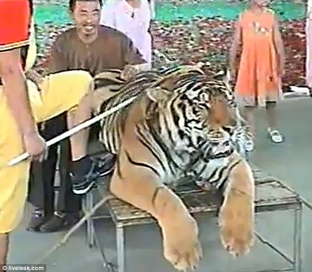 Abused: A tourist laughs as one of the men armed with sticks makes sure the animal faces the camera