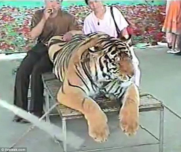Cruel: A docile tiger is smacked around the head as tourists, one of them nonchalantly smoking a cigarette, pose for pictures with the animal