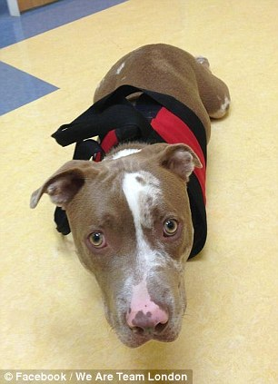 Victim of abuse: London the pitbull had its front legs amputated after suffering torture and abuse from Zachary Hinton and Sarah Anderson