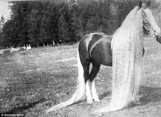 Meet The Wonder Horses With 19FEET Manes Who Slept With