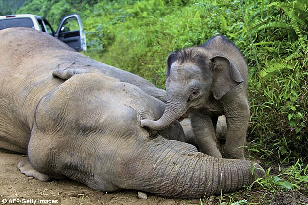 'Great loss': A three-month-old elephant calf attempts to wake its mother; one of ten pygmy elephants found dead in Malaysia's Sabah state