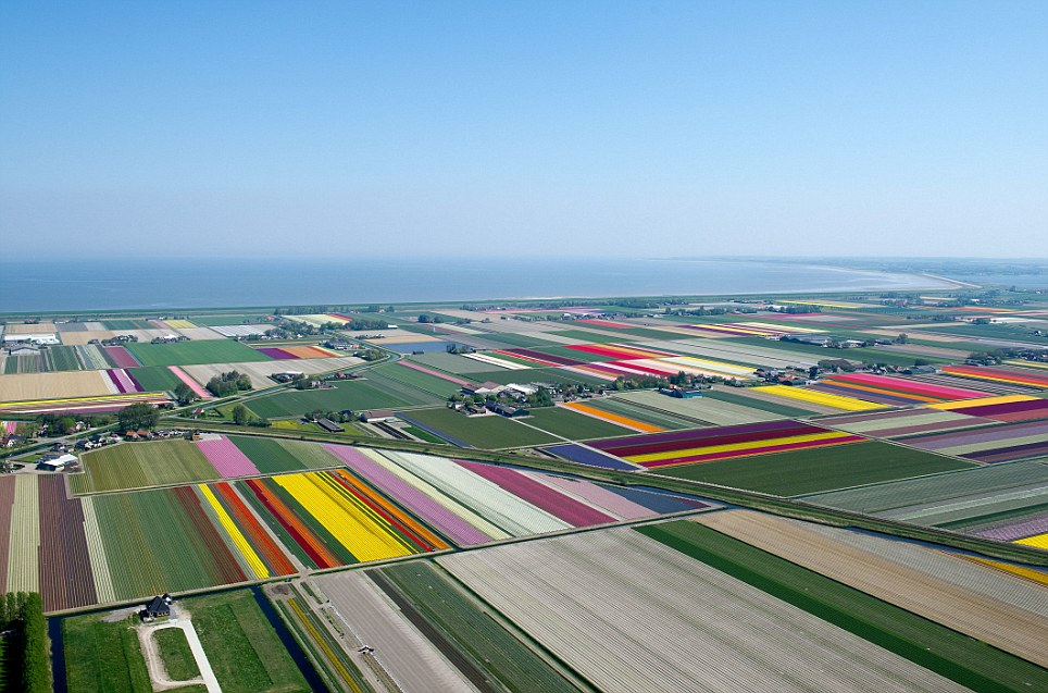 Patchwork: The tulip fields of the Netherlands pictured during the height of the growing season adding splashed of colour to the Dutch landscape