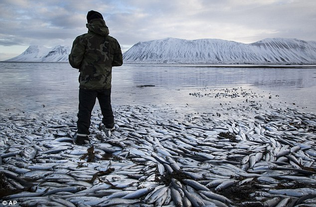 The fish were found in Kolgrafafjordur, a small fjord on the northern part of Snaefellsnes peninsula, west Iceland