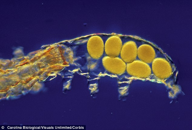 Molting Water Bear or Tardigrade with an egg mass