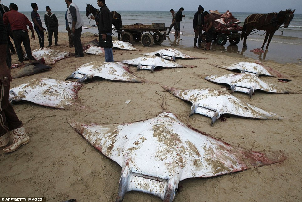 On the beach: Palestinian fishermen were pictured today with dozens of Mobula Ray fish that were washed up on the beach in Gaza City and carted off to market