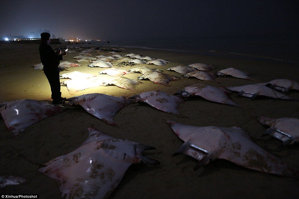 In the dark: A Palestinian policeman looks at stranded Mobula Rays on the Gaza beach earlier today