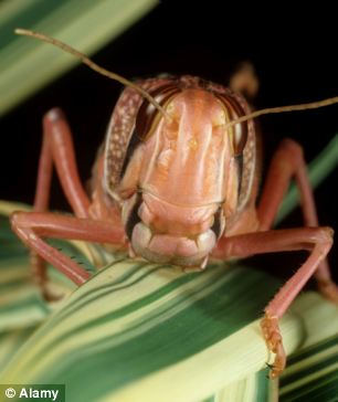 As the locusts have descended on agricultural farms in Giza and in Cairo, they have caused significant damage to agriculture