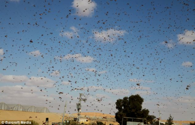Damaging: A swarms of locusts fly near Kadesh Barnea, in Jerusalem, Israel, yesterday after crossing the border from neighbouring Egypt