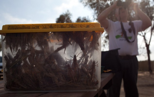 Specimen tests: An Israeli man looks at his binoculars after he collected locusts as a swarm arrives in Israel near the Egyptian border in Kmehin, Israel