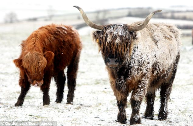 Wintry conditions: Highland cattle pictured in the Bathgate Hills, near Linlithgow, Scotland, this morning