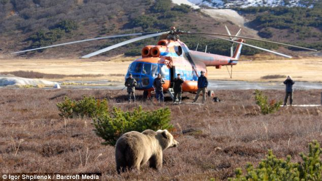A bear approaches a helicopter, perhaps hoping some drops of fuel will fall from the aircraft