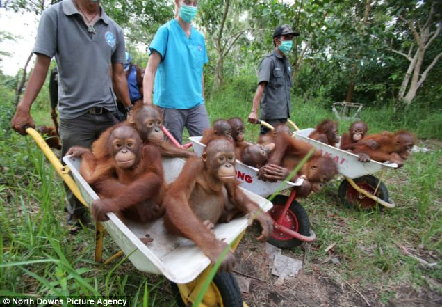 The adorable baby apes are on their way to their own private patch of rainforest - all thanks to the generosity of Daily Mail readers
