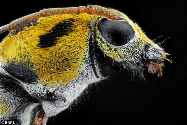 Photographer Donald Jusa from Bandung, Indonesia found the exotic looking insects near his office