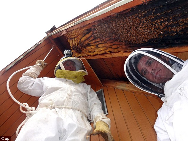 Big surprise: Ogden beekeeper Vic Bachman and partner Nate Hall prepare to remove a 12-foot-long beehive from an A-frame cabin in Eden, Utah last month
