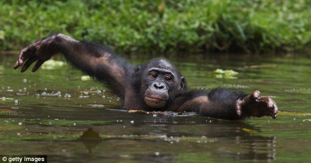 Making a splash: A bonobo male chimp wading through water to forage