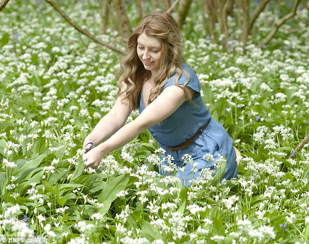 It's not all bad: Forager Loren Materaacki was engulfed by wild garlic on Monday in Sixpenny Handley, Dorset