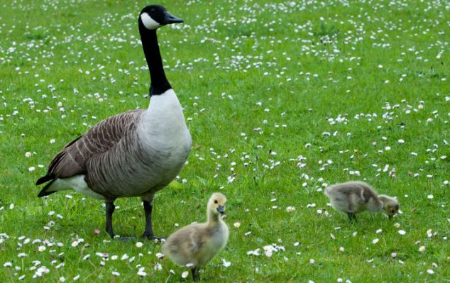 The goslings have now hatched