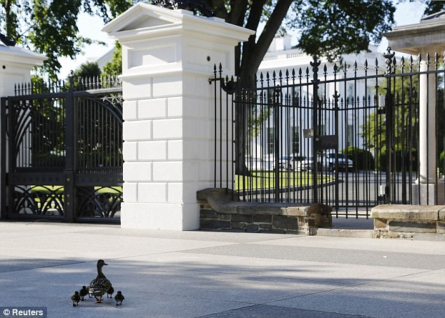 A family of ducks approaches the White House gates where they walked right through on to the President's lawn with the help of White House security guards
