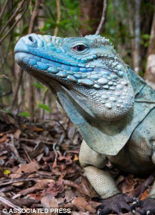 The Barbaturex morrisoni would have eaten the same things as iguanas