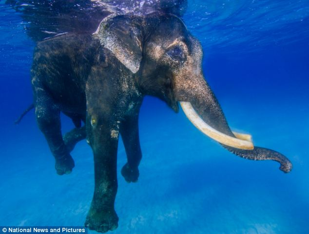 He was trained to swim to haul logs out to boats off the Islands, but when the practice was banned, enough money was raised to keep Rajan where he was in retirement
