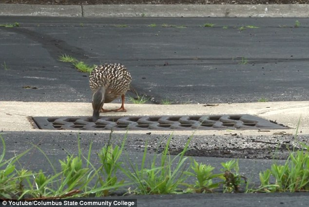 Duck in distress: An agitated mallard was spotted standing near the grate of a storm drain in Columbus, Ohio, and squawking