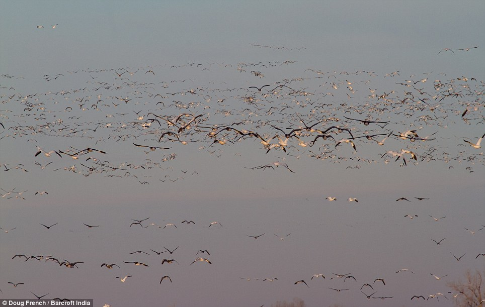 Formation: The snow geese take to the sky en masse