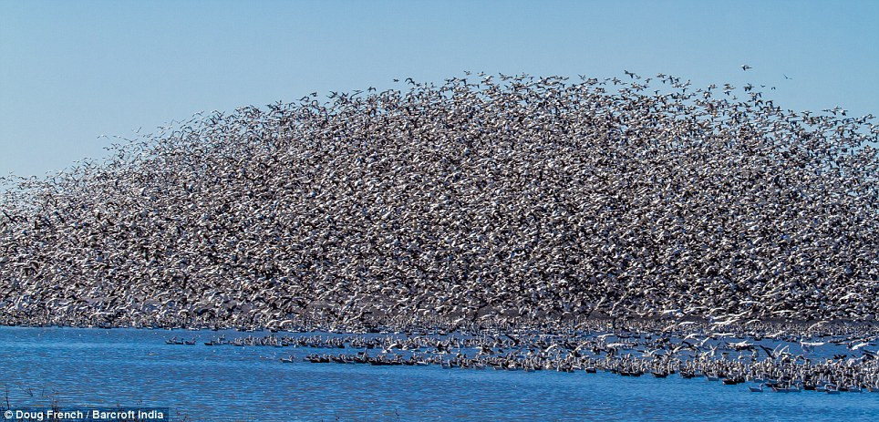 Veil: The snow geese take to the sky in their hundreds of thousands, forming a barrier that cannot be seen through